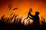 a farmer holds mature winter wheat,  Manitoba, Canada
