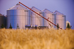 blurred mature winter wheat field with grain storage bins in the background, near Lorette,  Manitoba, Canada
