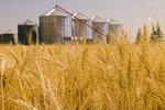 mature winter wheat field with grain storage bins in the background, near Lorette,  Manitoba, Canada