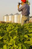 man examining soybean plants in mid growth soybean field, grain bins(silos) in the background,  Lorette, Manitoba, Canada