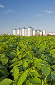 mid growth soybean field, grain bins(silos) in the background,  Lorette, Manitoba, Canada