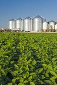 mid-growth soybean field, grain bins(silos) in the background,  Lorette, Manitoba, Canada