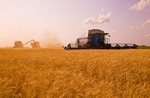combine harvesters and a grian wagon work in a field of winter wheat,  near Lorette, Manitoba, Canada