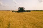 a combine harvesters works in a field of winter wheat,  near Lorette, Manitoba, Canada