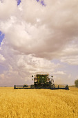 a combine harvesters works in a field of winter wheat, cumulonimbus clouds forming in sky,  near Lorette, Manitoba, Canada