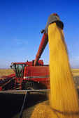 a combine unloads feed corn into a farm truck during the harvest, near Niverville, Manitoba, Canada