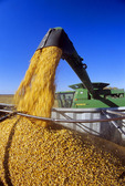 a combne unloads feed corn into a farm truck during the harvest near Carey, Manitoba, Canada