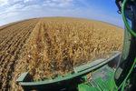 feed corn harvest