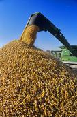 a combine unloads into a farm truck during the grain corn harvest