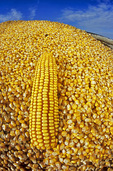 close-up of harvested grain/feed corn in farm truck