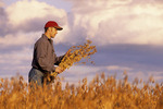 a man checks a harvest ready soybean field
