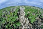 early growth soybeans in zero till wheat stubble, near Lorette Manitoba, Canada