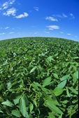 mid growth soybean field