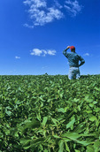 a man looks out over a mid growth soybean field