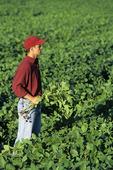 a man checks a mid growth soybean field