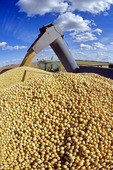 unloading soybeans into a grain truck