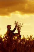 a man examines a harvest ready soybean crop, near Dugald, Manitoba, Canada