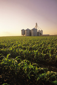 field of feed/grain corn with a feed mill in the background, near Niverville, Manitoba, Canada
