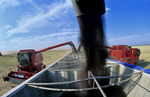 canola is augered into a farm truck during the harvest
