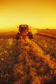 a combine harvester works in a canola field