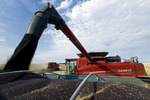 a combine harvester unloads canola into a farm truck during the harvest