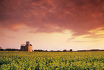 bloom stage canola field with grain elevator in the background,