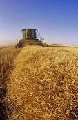 a combine harvester works in a canola field, near Dugald, Manitoba, Canada