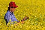 man in bloom stage canola field , Tiger Hills,  Manitoba, Canada