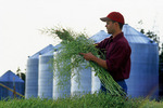man examines pod stage canola, grain bins(silos) in the background,