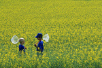 boys with insect nets in a field of bloom stage canola,  Tiger Hills, Manitoba, Canada