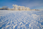 field with frost covered trees,near Estevan, Saskatchewan, Canada