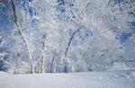 field with frost covered trees,near Estevan, Saskatchewan, Canada