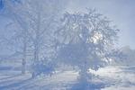 field with frost covered trees,near Estavan, Saskatchewan, Canada