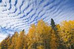 popular trees, Prince Albert National Park, Saskatchewan, Canada