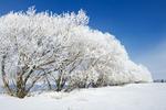 hoarfrost on trees in shelter belt, near Oakband, Manitoba, Canada