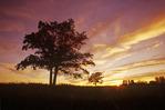 oak trees in Birds Hill Provincial Park, Manitoba, Canada