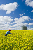 farmer in bloom stage mustard field with grain bin, near Ponteix, Saskatchewan, Canada