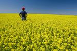 farmer in bloom stage mustard field  near Ponteix, Saskatchewan, Canada