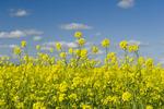bloom stage mustard field, near Ponteix, Saskatchewan, Canada