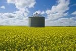 bloom stage mustard field and grain bin, near Ponteix, Saskatchewan, Canada