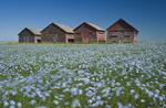 flowering flax field with old grain bins in the background near Ponteix, Saskatchewan, Canada