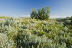 sage and aspen trees, the Great Sandhills, near Sceptre, Saskatchewan, Canada