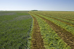 swathed alfalfa, near Ponteix, Saskatchewan, Canada