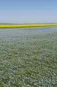 flowering flax field ,near Ponteix, Saskatchewan, Canada