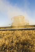 dry pea harvest near Ponteix,  Saskatchewan, Canada