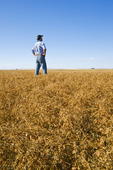 a man looks out over a mature, harvest ready lentil field  near Ponteix,  Saskatchewan, Canada
