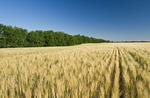 maturing durum wheat field with shelterbelt in the background,  near Admiral, Saskatchewan, Canada