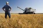 a man in a mature, harvest ready dry pea field with a combine harvester in the background near Admiral,  Saskatchewan, Canada