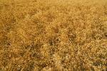 mature, harvest ready lentil field  near Ponteix,  Saskatchewan, Canada