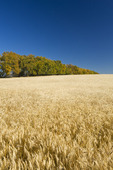 wheat field with shelterbelt in the background, near Central Butte, Saskatchewan, Canada